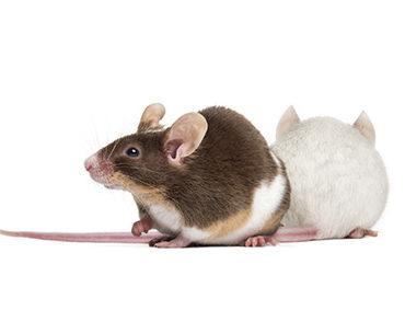 Les deux souris